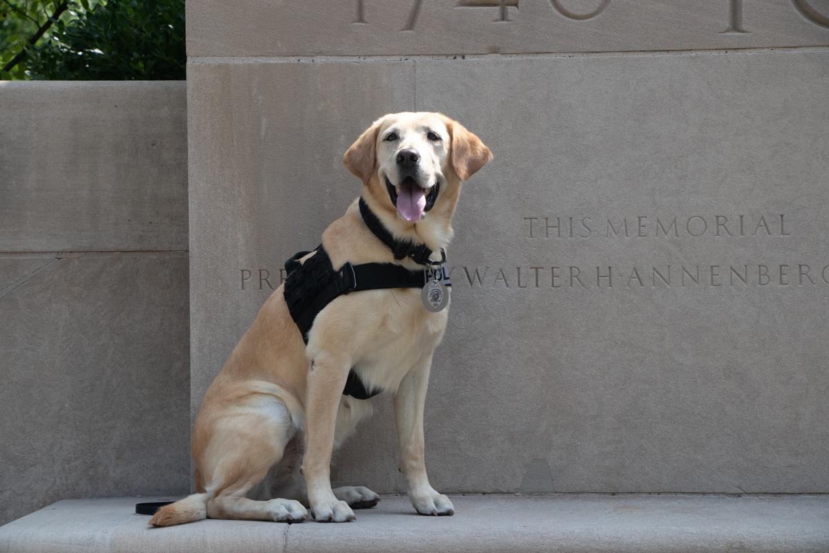 K9 Officer Socks, a yellow Labrador Retriever